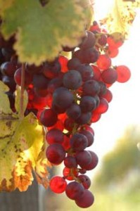 Grapes red on the vine